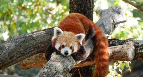 camping la chanterelle panda roux